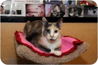 Calico Cat for adoption in Farmingdale, New York - Elphaba