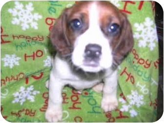 Treeing Walker Coonhound/Jack Russell Terrier Mix Puppy for adoption in Wauseon, Ohio - Coonhound/Jack Russel Puppies