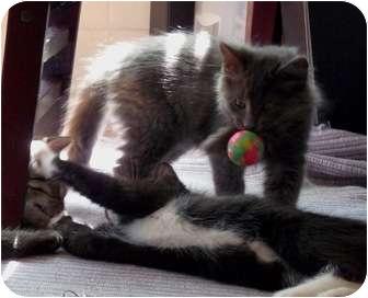 Domestic Longhair Kitten for adoption in Chicago, Illinois - Nantucket