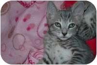 Domestic Shorthair Kitten for adoption in Tampa, Florida - Bella