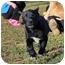 Photo 1 - Labrador Retriever Mix Puppy for adoption in Allentown, Pennsylvania - What