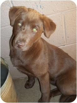 Labrador Retriever Mix Puppy for adoption in Gaffney, South Carolina - Godiva