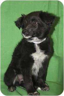 Border Collie Mix Puppy for adoption in Broomfield, Colorado - Poppy