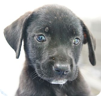 Labrador Retriever/Retriever (Unknown Type) Mix Puppy for adoption in Houston, Texas - Starlite