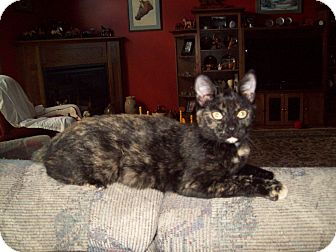 Domestic Shorthair Cat for adoption in Dover, Ohio - Tootsie