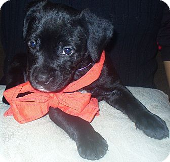 Rottweiler Mix Puppy for adoption in Largo, Florida - Phoebe