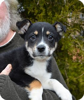 Border Collie/Australian Shepherd Mix Puppy for adoption in Chattanooga, Tennessee - Bandit