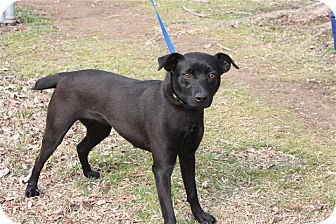Labrador Retriever/Rat Terrier Mix Dog for adoption in Conway, Arkansas - Minka