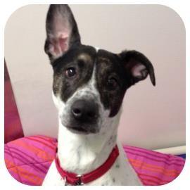 Spaniel (Unknown Type)/Hound (Unknown Type) Mix Dog for adoption in Ithaca, New York - Juniper