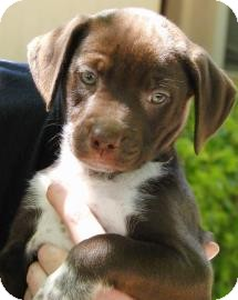 Labrador Retriever/Hound (Unknown Type) Mix Puppy for adoption in Bradenton, Florida - Coquina