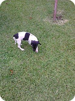 Rat Terrier Mix Puppy for adoption in Crowley, Louisiana - Adam