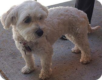 Poodle (Miniature) Mix Dog for adoption in Thousand Oaks, California - Lilla