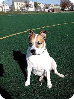Jack Russell Terrier Mix Dog for adoption in Acushnet, Massachusetts - Jack
