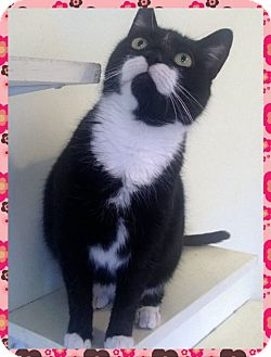 Domestic Shorthair Cat for adoption in Hagerstown, Maryland - Candy