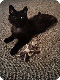 Domestic Shorthair Cat for adoption in Woodstock, Ontario - Luna