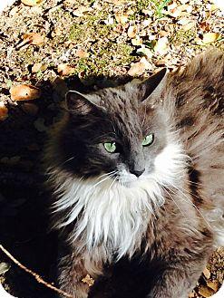 Maine Coon Cat for adoption in El Dorado Hills, California - Smooch