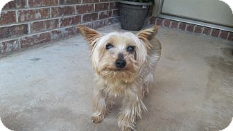 Yorkie, Yorkshire Terrier Dog for adoption in Boonsboro, Maryland - Chicas
