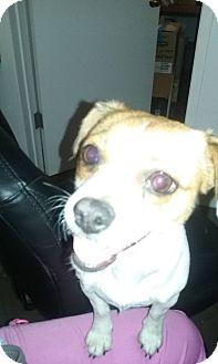 Beagle/Chihuahua Mix Dog for adoption in Richmond, California - Prada