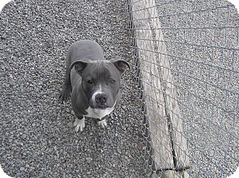 Pit Bull Terrier Mix Dog for adoption in Delta, Colorado - Stallone