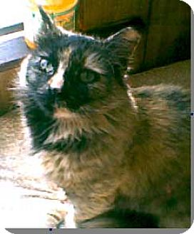 Domestic Shorthair Cat for adoption in Wakefield, Massachusetts - Chloe
