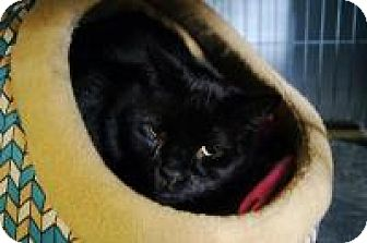 Domestic Shorthair Cat for adoption in New Milford, Connecticut - Zappa