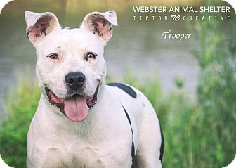 American Staffordshire Terrier Mix Dog for adoption in Webster, Texas - Trooper