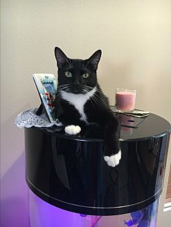 American Shorthair Cat for adoption in Nuevo, California - Winky
