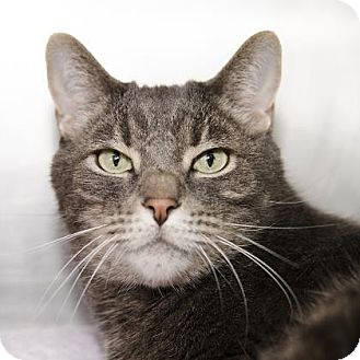 Domestic Shorthair Cat for adoption in Adrian, Michigan - Stewie