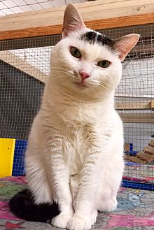 Domestic Shorthair Cat for adoption in Wilmington, Delaware - Guiness