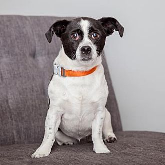 Jack Russell Terrier Mix Dog for adoption in Mission Hills, California - Lil Mabel