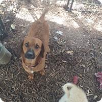Adopt A Pet :: Oscar - Fair Oaks Ranch, TX