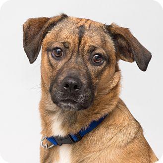 Shepherd (Unknown Type)/Hound (Unknown Type) Mix Dog for adoption in Westfield, New York - Gracie
