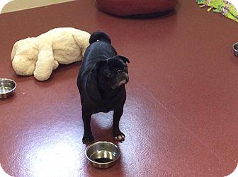 Pug Mix Dog for adoption in Mechanicsburg, Ohio - Autumn