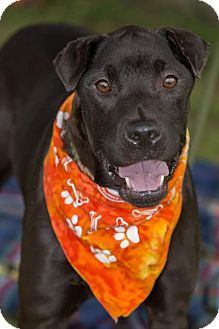 Shar Pei/Terrier (Unknown Type, Medium) Mix Dog for adoption in Flint, Michigan - Dino - Adopted