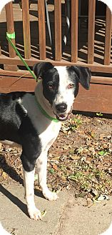 Bearded Collie/Hound (Unknown Type) Mix Dog for adoption in Mount Pleasant, South Carolina - Abby