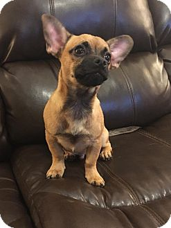 Chihuahua Mix Puppy for adoption in Rockford, Illinois - Charlie
