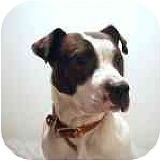 American Staffordshire Terrier/Hound (Unknown Type) Mix Dog for adoption in Long Beach, New York - Petey