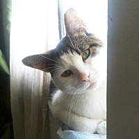Domestic Shorthair Cat for adoption in New York, New York - Cuddly Goofball BOOBOO