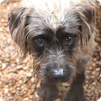 Adopt A Pet :: Sinclair - Norwalk, CT