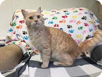 British Shorthair Cat for adoption in Agoura Hills, California - Henry