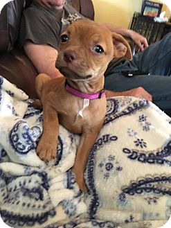 Chihuahua/Pug Mix Puppy for adoption in Allentown, Pennsylvania - Midge