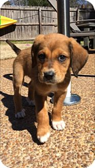 Labrador Retriever/Hound (Unknown Type) Mix Puppy for adoption in Rochester, New Hampshire - Mable