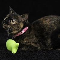 Domestic Shorthair Cat for adoption in Gainesville, Florida - Keri