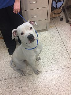 Pit Bull Terrier Mix Dog for adoption in University Park, Illinois - Olaf