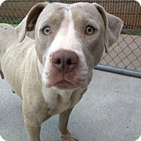 American Pit Bull Terrier Mix Dog for adoption in Decatur, Georgia - Pizazz