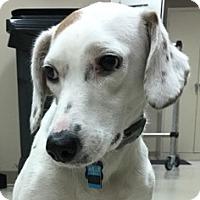 Adopt A Pet :: Snoopy - Decatur, AL