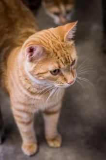 Domestic Shorthair/Domestic Shorthair Mix Cat for adoption in Fort Dodge, Iowa - Artie
