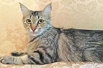 Maine Coon Cat for adoption in Youngsville, North Carolina - Larissa