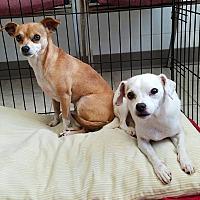 Adopt A Pet :: Pebbles - Umatilla, FL