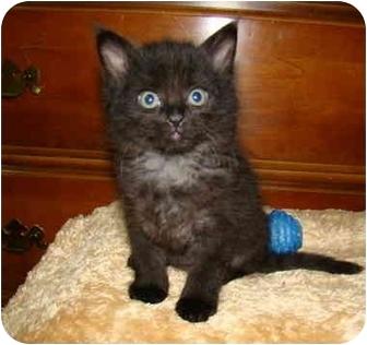 Maine Coon Kitten for adoption in Taylor Mill, Kentucky - Batman